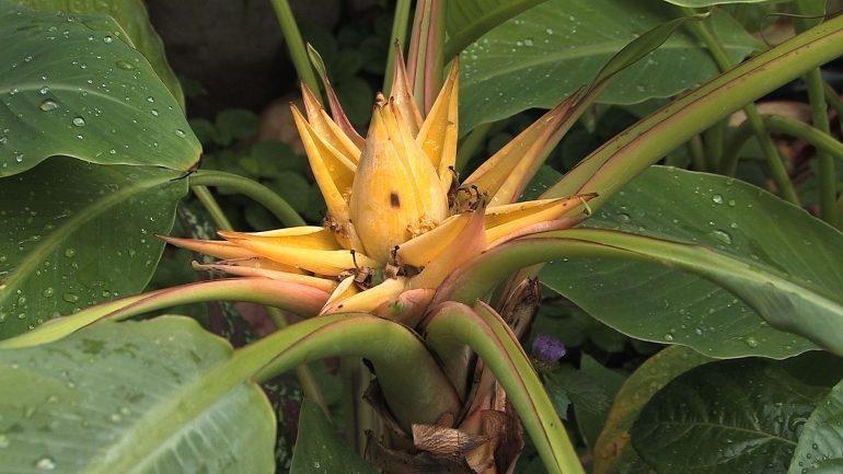 Декоративно-лиственные и красивоцветущие бананы