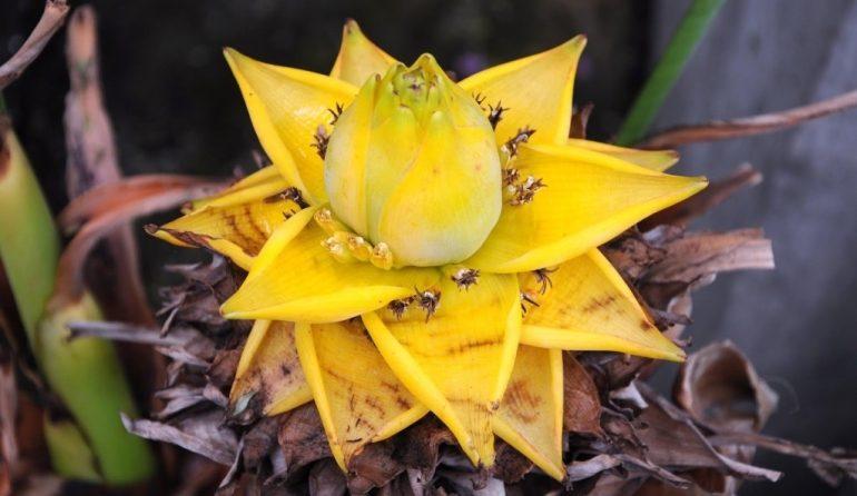 Банан китайский карликовый, Золотой лотос (Musella lasiocarpa)