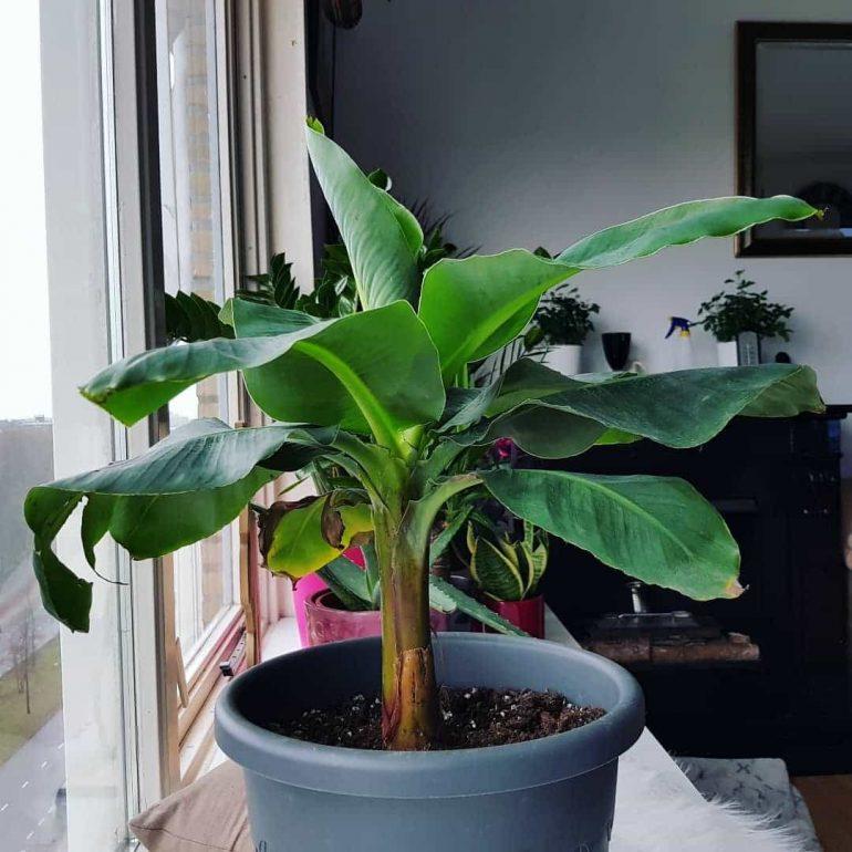 Банан Ковендиш. Фото