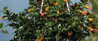 Нематантус - выращивание и уход в домашних условиях, фото видов
