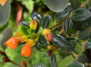 Нематантус цветение