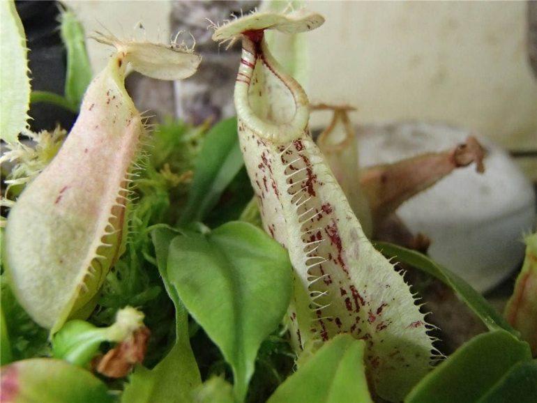 Непентес изящный (N. gracilis), непентес Раффлези (N. rafflesiana)