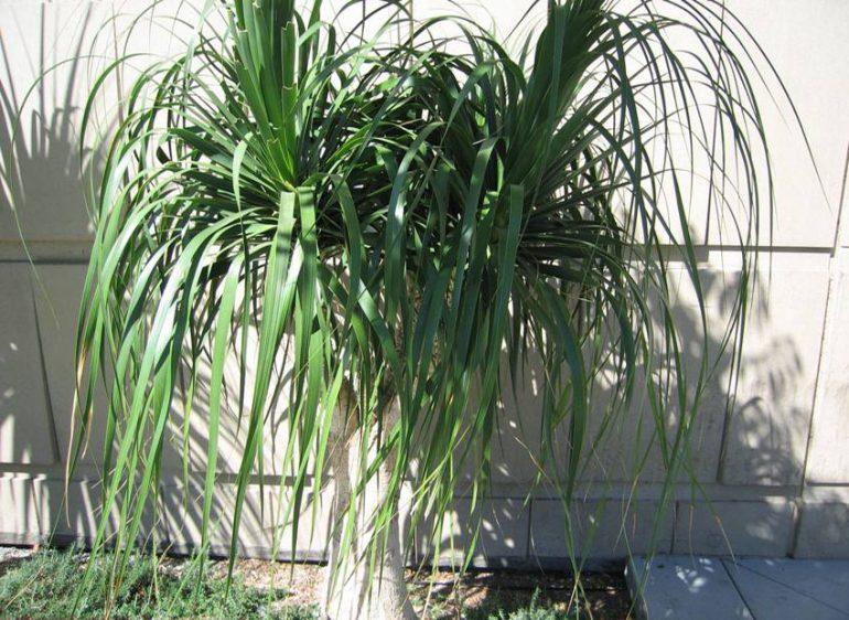Нолина длиннолистная (Nolina longifolia)