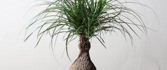 Бокарнея - выращивание и уход в домашних условиях, фото видов