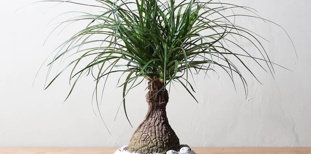 Растение нолина как ухаживать