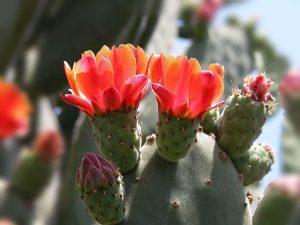 Опунция цветение