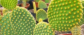 Опунция кактус - уход в домашних условиях, фото видов