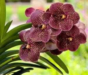 Орхидея Ванда цветение