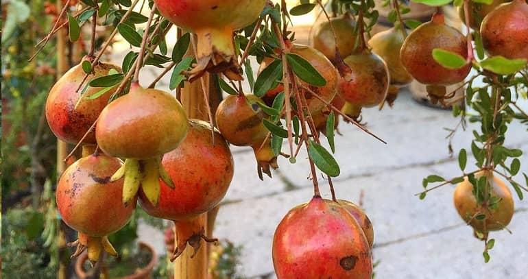 Как цветет гранатовое дерево фото
