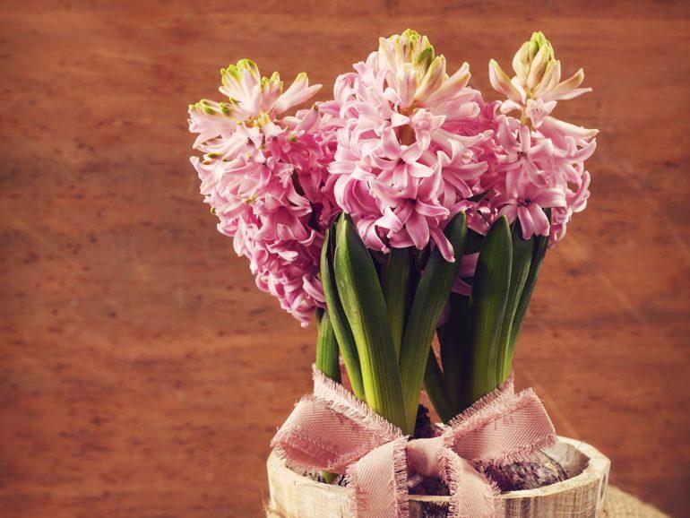 Розовые и кремовые гиацинты