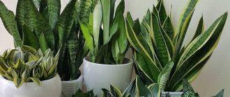 Сансевиерия - уход в домашних условиях, фото видов