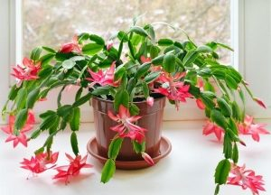 Шлюмбергера (Schlumbergera) цветение