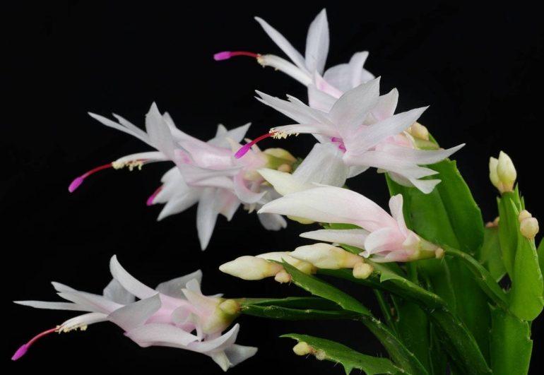 Шлюмбергера усеченная (Schlumbergera truncates)