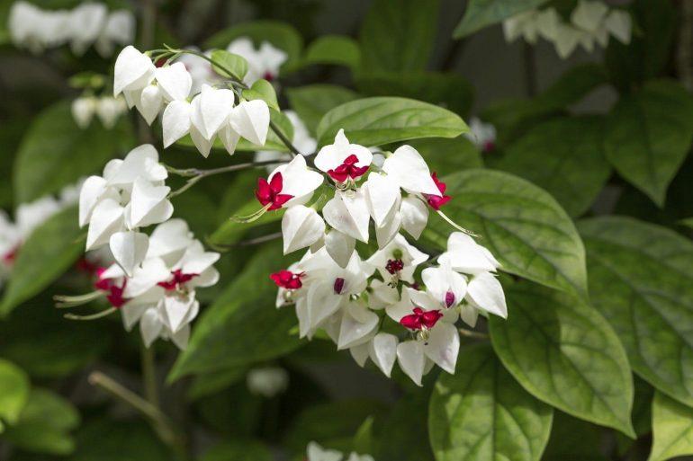 Томсона (C. thomsoniae)