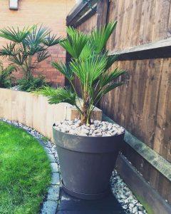 пальма трахикарпус форчуна в горшке. Фото