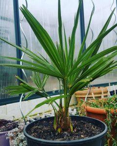 Выращивание трахикарпуса из семян