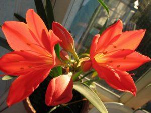 Валлота цветение