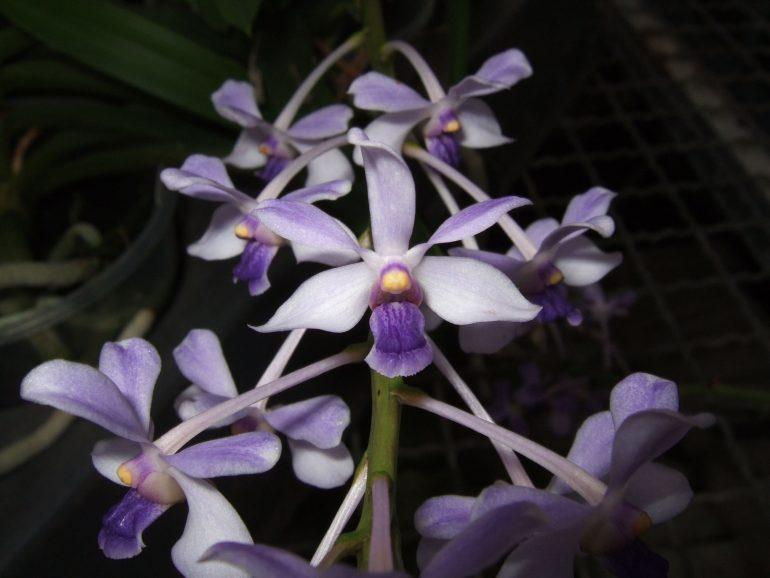 Ванда голубоватая (Vanda coerulescens)