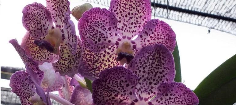 Архидея ванда