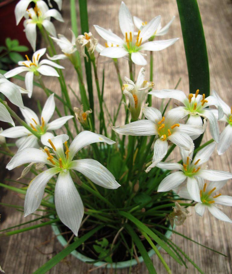 Зефирантес белоснежный, или зефирантес белый (Zephiranthes candida)