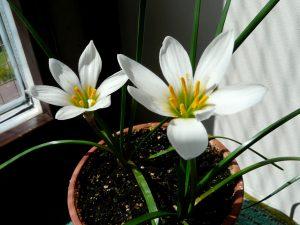 Зефирантес цветение