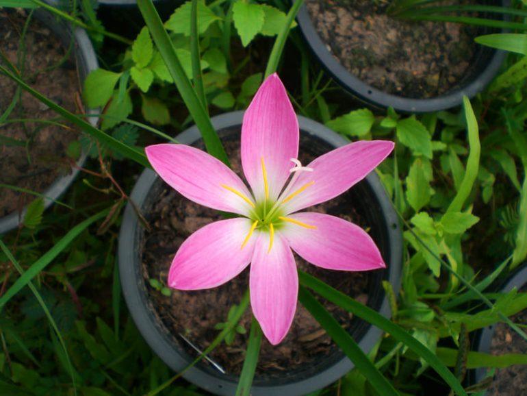 Зефирантес розовый, пинк (Zephyranthes rosea)