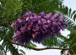 Жакаранда цветение