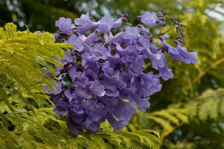 Жакаранда мимозолистная, овальнолистная или круглолистная (Jacaranda mimosifolia, Jacaranda ovalifolia)