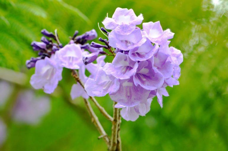 Жакаранда папоротниколистная Jacaranda filicifolia