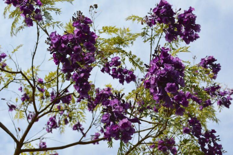Жакаранда пушистая, жасминовидная, войлочная Jacaranda jasminoides, Jacaranda tomentosa