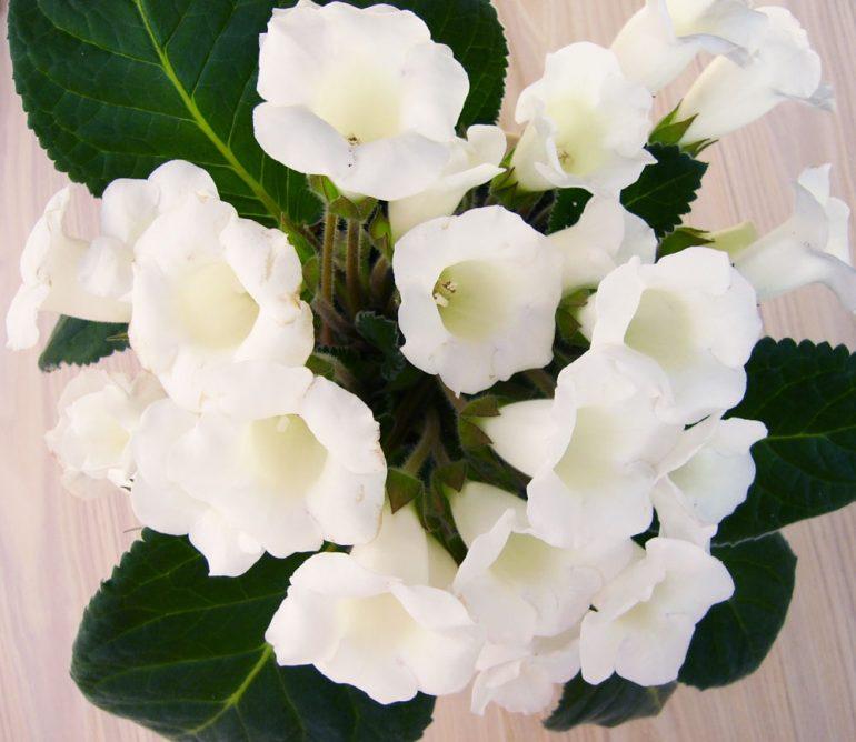 Белые глоксинии