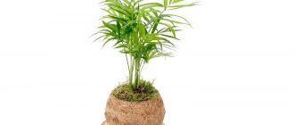 Хамедорея - выращивание и уход в домашних условиях, фото видов