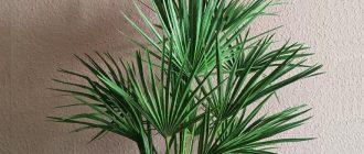 Хамеропс - выращивание и уход в домашних условиях, фото видов
