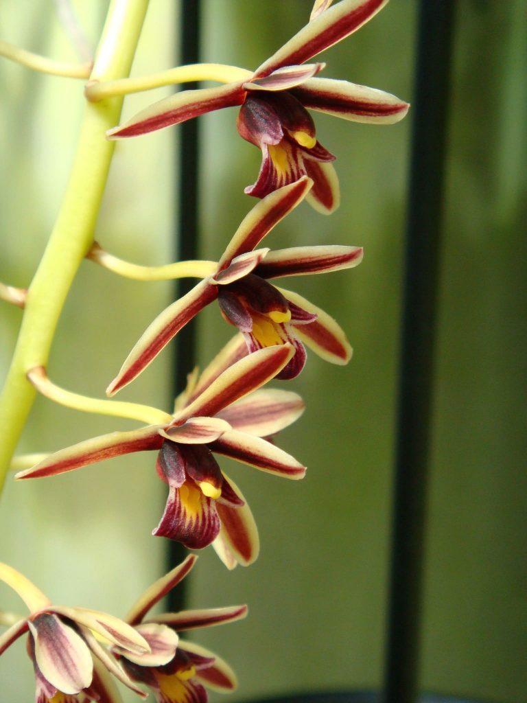 Цимбидиум алоэлистный (Cymbidium aloifolium)