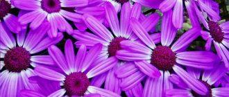 Цинерария - выращивание и уход в домашних условиях, фото сортов