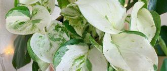 Эпипремнум - выращивание и уход в домашних условиях, фото видов