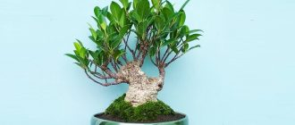 Фикус микрокарпа - уход и размножение в домашних условиях, фото растения