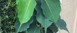 Фикус священный - выращивание и уход в домашних условиях, фото
