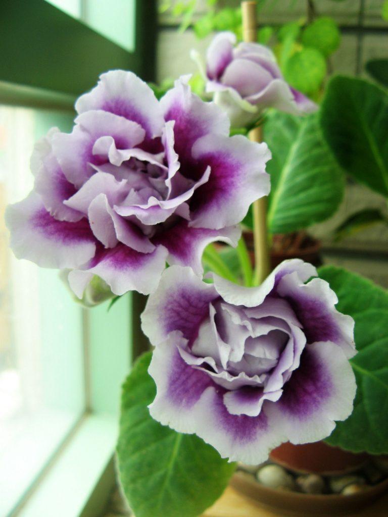 Фиолетовые глоксинии
