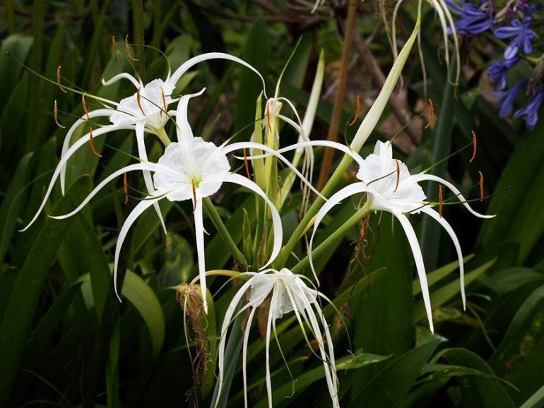 Гименокаллис карибскийHymenocallis caribaea