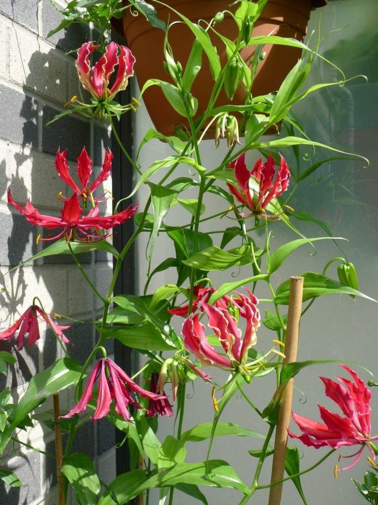 Глориоза роскошная, или великолепная (Gloriosa superba)