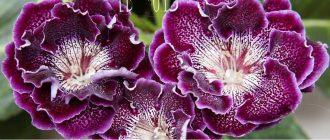 Глоксиния - выращивание и уход в домашних условиях, фото видов и сортов