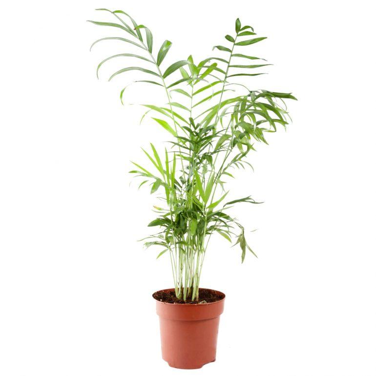 Хамедорея одноцветная (лат. Chamaedorea Concolor)