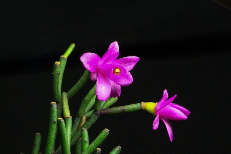 Хатиора Гермина (Hatiora herminiae)