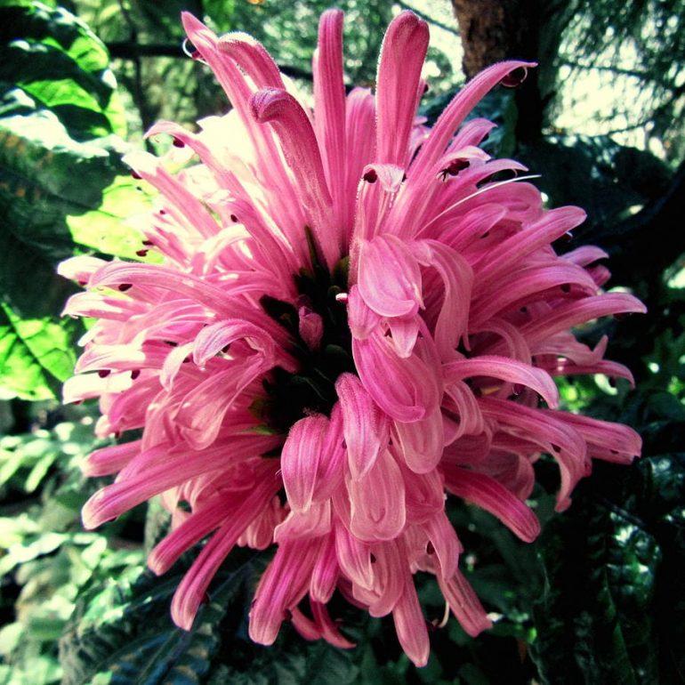 Якобиния Поля (Jacobinia pohliana)