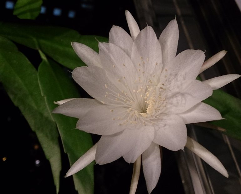 Эпифиллум филлантус Epiphyllum phyllanthus