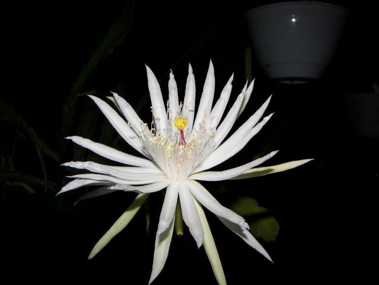 Эпифиллум гватемальский Epiphyllum guatemalense
