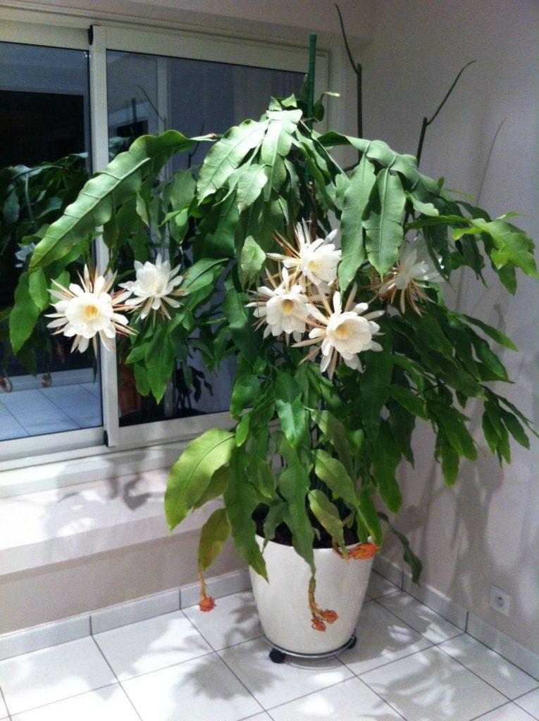 Эпифиллум оксипеталум, остролепестный Epiphyllum oxypetalum