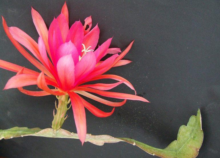 Эпифиллум зазубренный Epiphyllum crenatum