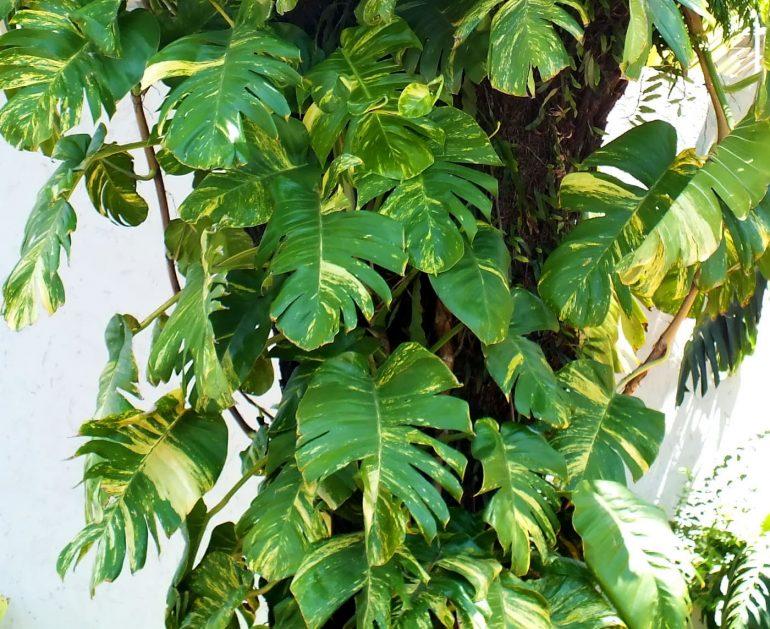 Эпипремнум перистый (Epipremnum pinnatum)